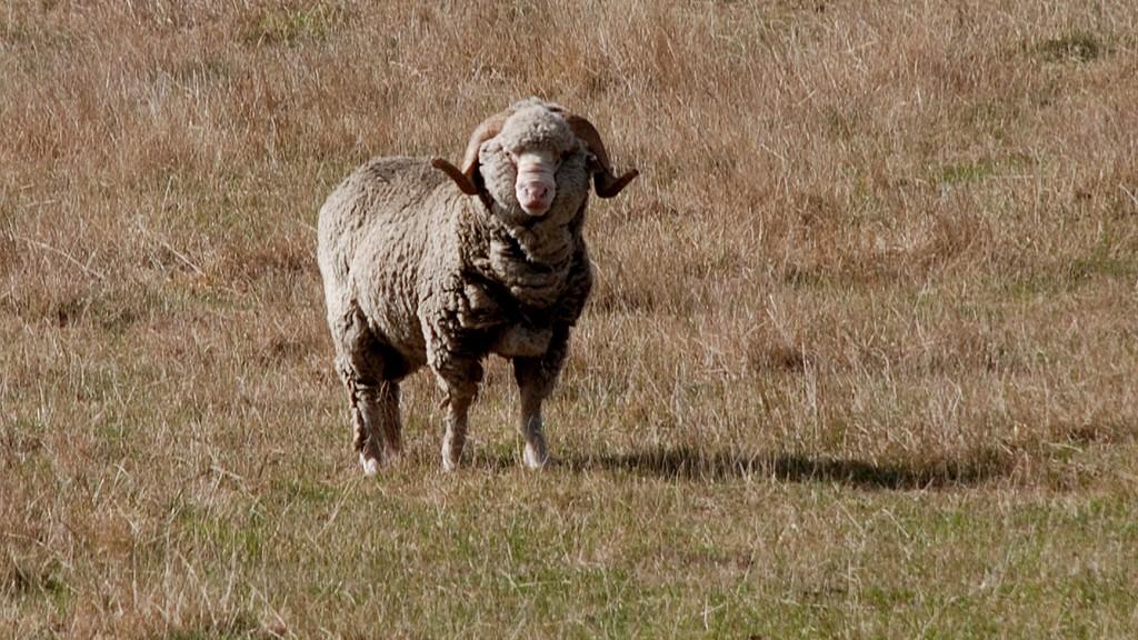 Merino får i New Zealand. Foto: Phillip Capper, billedet er tilgængelig under Creative Commons licens.